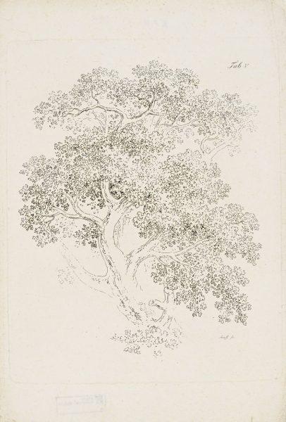"""Karl August Senff (1770–1838). Tamme võra. Vihikust """"Vorzeichnungen für Anfänger im Landschaftzeichnen"""" (Maastikujoonistamise näidislehed algajale)."""