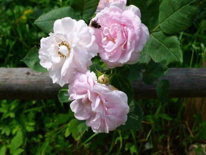 Roosid aias
